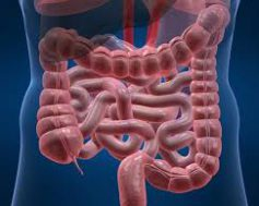 Французским ученым удалось вырастить кишечник из стволовых клеток